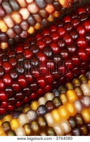 Tri Colored Corn