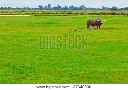 The Buffalo In The Field