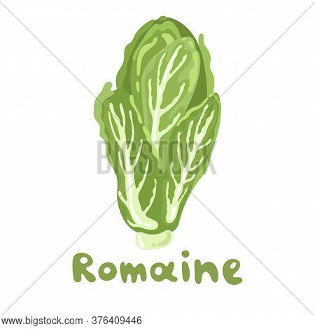 Romaine Lettuce Colorful Vector Stock Illustration. Seasonal Ripe Vegetable Isolated On White. Great