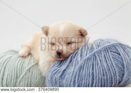 Adorable Pomeranian Spitz Dog Puppy Laying On A Ball Of Fluffy Wool With Natural Light. High Quality
