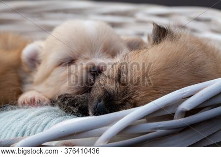 Adorable Pomeranian Spitz Dog Puppies Laying In A Rush Basket With Natural Light. High Quality Photo