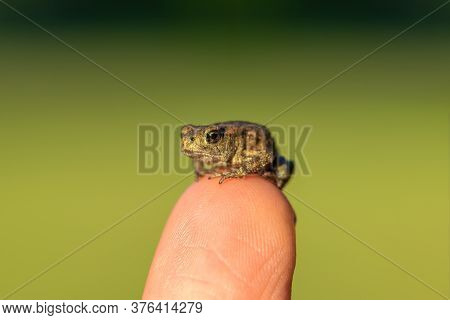 Tiny Little Toad Sitting On Human Finger In Front Of The Green Background. Eye Of Toad Is In Camera