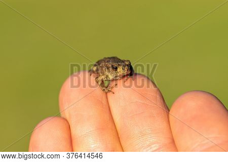 Tiny Little Toad Sitting On Human Fingers In Front Of The Green Background. Nose And Eye Of Toad Is