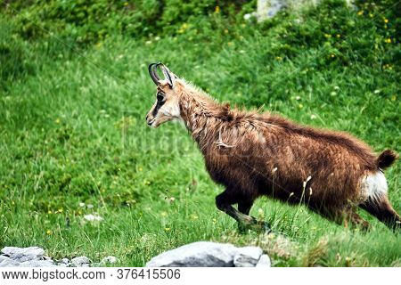 Tatra Chamois In The Meadow In The Tatra Mountains In Poland