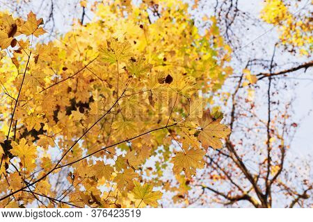 Tree With Yellow Leaves, The Daytime Sky. Perk Up View