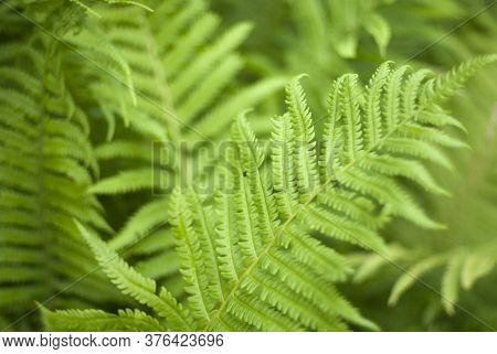 Perfect Natural Fern. Background Made With Young Green Fern Leaves. Green And Macro Leaves. Floral F