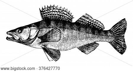 Zander, Pike-perch, Fish Collection. Healthy Lifestyle, Delicious Food. Hand-drawn Images, Black And