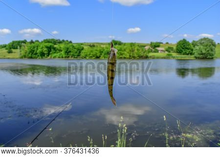 Caught Freshwater Perch Fish Hanging On A Hook Against A Blurred Rural Landscape. Lake And Fish Catc