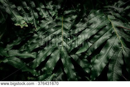 Dark Green Leaves In The Garden. Light On Green Leaf Texture. Nature Abstract Background. Tropical F