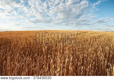 Field Of Ripe Wheat Under Blue Sky. Evening Rural Landscape With Agricultural Field. Rich Harvest. A