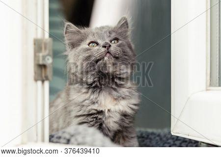 Kitten In Window. Small Playful Fluffy Gray Kitten On Windowsill Inside The House Looks Through The