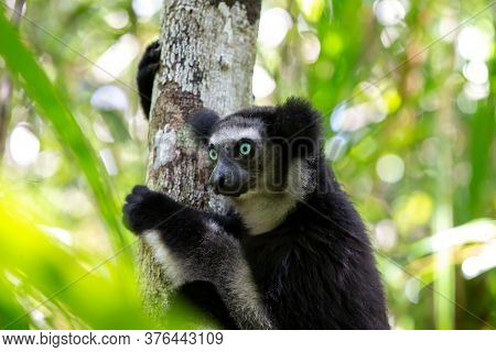 An Indri Lemur On The Tree Watches The Visitors To The Park