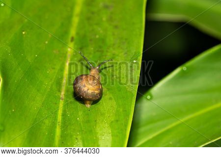 One Small Snail With Its Snail Shell On A Green Leaf