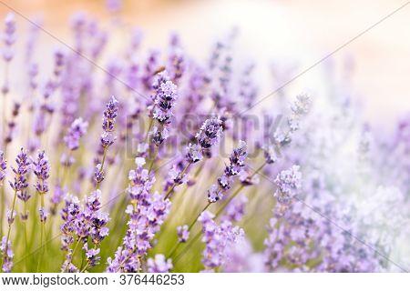 Lavender Flower In Flower Garden, Flowering Lavender Flowers, Selective And Soft Focus On Lavender F
