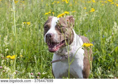 Walking Large Dogs On A Green Summer Field National Dog Day. American Staffordshire Terrier Beautifu