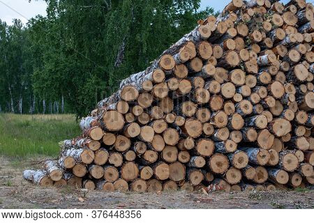 Felled Tree Trunks. Cut Firewood, Birch Tree Trunks Stacked In Piles. Illegal Deforestation. Ecologi
