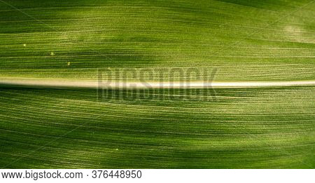 Green Growing Leaves Of Maize In A Field. Background