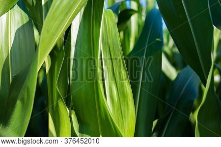 Corn Field In Sunset. Maize Closeup, Agriculture Theme. Farming In Austria, Styria