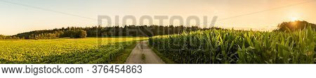 Panorama Shot Of Rural Path Between Fields Of Maize And Soy Leading To Forest, Sunset Landscape