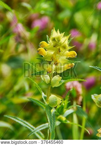 Rhinanthus Angustifolius