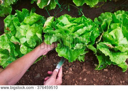 closeup of a young caucasian man collecting a butterhead lettuce in an organic orchard