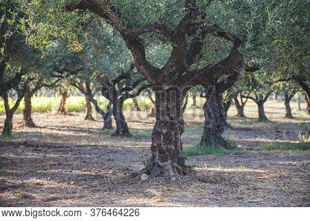 Groves Of Olive Trees, Greek Island Of Zakynthos