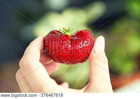 One Big Red Strawberry In Somebody's Hand, Close Up