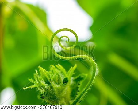 Selective Focus On The Mustache Of A Cucumber Closeup. The Mustache Of The Plant Is Twisted In The F