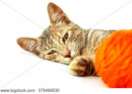 Closeup Portrait Of Cute Striped Fur Young Cat With Orange Ball Of Wool In White Background. Domesti