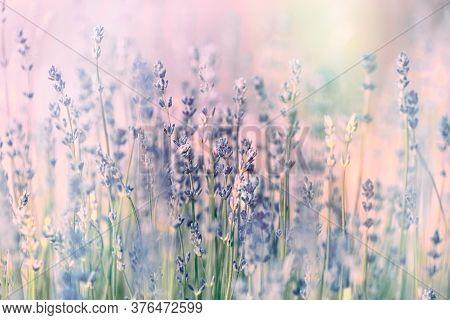 Flowering Lavender Flower,selective And Soft Focus On Lavender Flowers