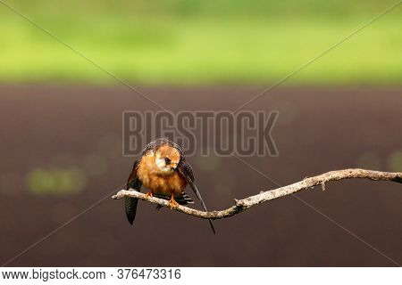 The Red-footed Falcon (falco Vespertinus), Formerly Western Red-footed Falcon Sitting On The Branch