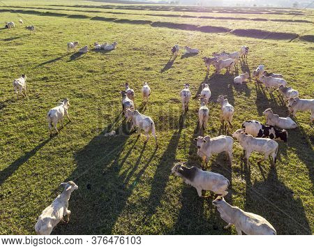 Cattle Herd Grazing At Sunset