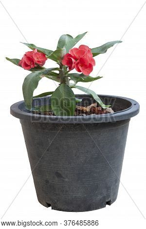 Red Euphorbia Milli Or Crown Of Thorns Flower In Black Plastic Pot Isolated On White Background With