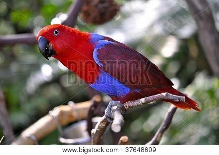 Eclectus Parrot Female