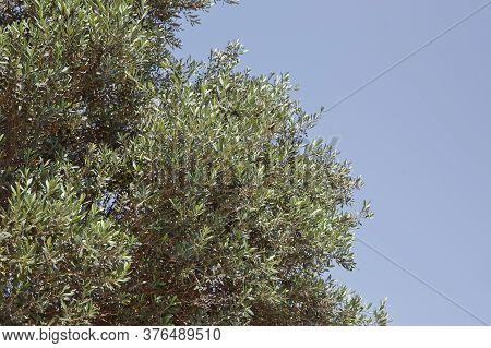 Olive Tree Azerbaijan . Park Olive Tree . Olive Tree With Focus