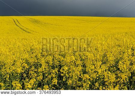 Oilseed Rape Field In Flower In Springtime