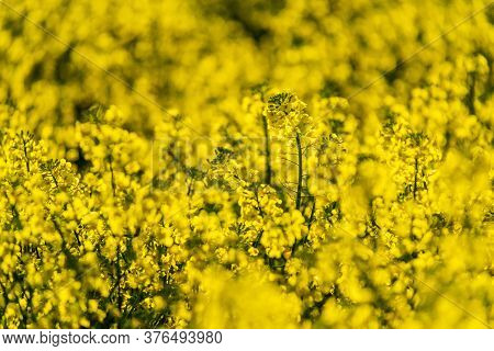 Detail Of Oilseed Rape Field In Flower In Springtime