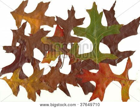 Close-up Collection Fall Autumn Oak Leaves 2