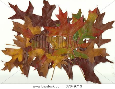 Close-up Collection Fall Autumn Oak Leaves