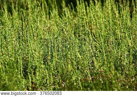 Solar Summer Morning In The Wood. Young Fresh Escapes Of A Wild Heather Grow At A Green Wall.