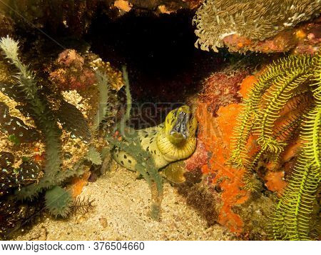 Undulated Moray Eel, Gymnothorax Undulatus, At A Puerto Galera Tropical Coral Reef In The Philippine