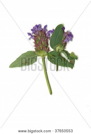Heal-all Purple Flower Plant