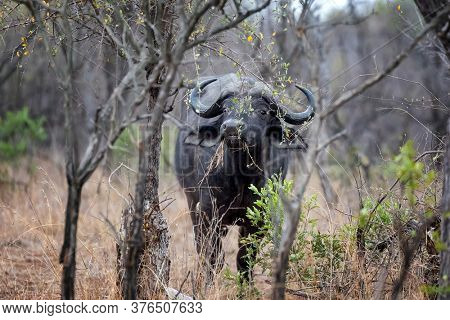 Cape buffalo,  syncerus caffer,, grazing in the bush of Kruger National Park. This is a mature adult male, as evidenced by his horns or boss. Kruger, South Africa.