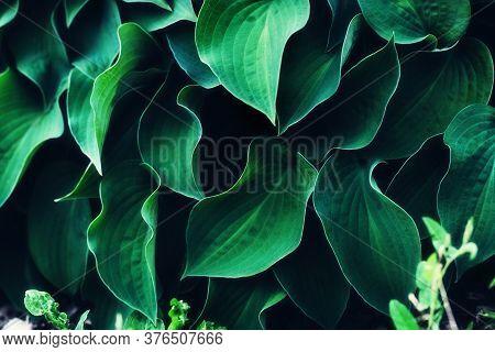 Hosta Leaves Background. Vivid Green Plant Leaves. Natural Juicy Wallpaper