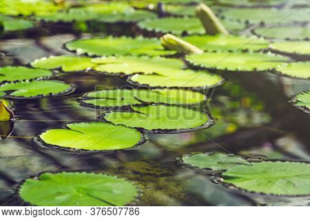 Water Lily Leaves On The Water. Bright Green Leaves Natural Background. Pond Water Surface In The Su