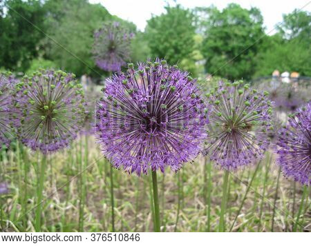 Lilac Balls Of Flowers Amaze With Their Delicate Perfection And Are Favorably Emphasized By Green Gr