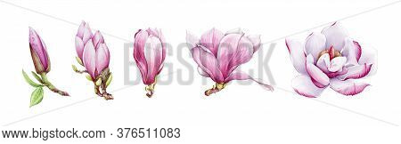 Magnolia Pink Tender Flower Watercolor Painted Illustration Set. Hand Drawn Lush Spring Bud And Blos