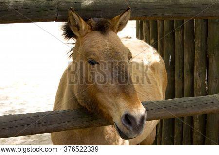 Przewalski Wild Horse, Przewalski`s Horse Equus Przewalskii, Dzungarian Horse Or Equus Ferus Przewal