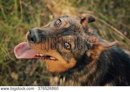 The Cute Little Dog Stuck Out Its Tongue. Dog Lying Down In The Grass.