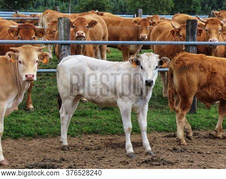 White Calf Standing In A Pasture Among Other Red Limousin Breed Calves. Ear Tag Info Removed